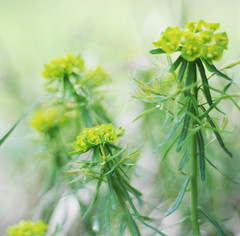 Wolfsmilch (Frau Koriander) Tags: flowers plants green nature 50mm dof outdoor natur pflanzen meadow wiese euphorbia wiesenblume wolfsmilch nikond300s