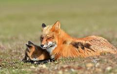 DB6_8695 (DouglasJB) Tags: cuteness foxes playful djbphotocom