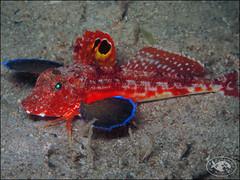 Spiny Gurnard (Lepidotrigla papilio) (Brian Mayes) Tags: canon underwater australia scuba diving pipeline nelsonbay gurnard g16 1714 brianmayes spinygurnard lepidotriglapapilio canong16
