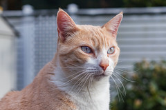 Stanley (No_Water) Tags: red white cat de deutschland ginger tabby tiger stanley katze badenwrttemberg ebersbachanderfils