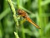048 Female Broard Bodied Chaser (saxonfenken) Tags: dragonfly insect macro dof grasses 6946insect 6946 broardbodiedchaser pregamewinner perpetual gamewinner challengeyouwinner