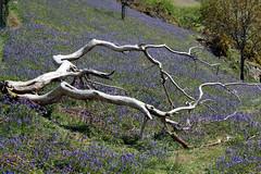 Dead tree (Cumberland Patriot) Tags: park blue mountain lake mountains flower tree water bluebells dead bell district hill hills national cumbria fells bluebell fell crummock cumbrian melbreak rannerdale