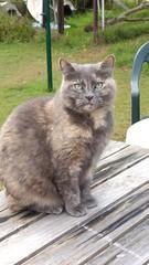 Matilda (Matilda&Charlie&Josie ~ MCJ) Tags: cat matilda 10yo greybluecreamtortoishell
