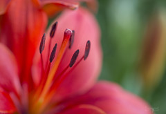 Paint by Number (Lori Bote) Tags: red flower macro petals lily details depthoffield stamen redflower focalpoint redlily macrophotography floralart orientallily floralimage