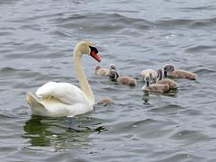 Neubrandenburg - Schwan mit Kken auf dem Tollensesee (www.nbfotos.de) Tags: bird birds swan schwan vogel mecklenburgvorpommern neubrandenburg kken tollensesee schwanenkken
