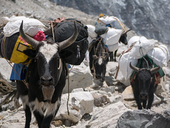 Ox coming from Base Camp to Gorek Shep (sasbphotography) Tags: yak mountain snow mountains clouds mt himalaya yaks everest himalayas