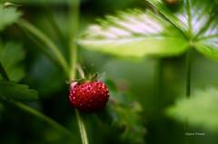 Dlice (clairetresse) Tags: france des fraise nord bois isre