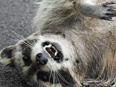 process of decomposition... (iamlewolf) Tags: road white black closeup dead death nikon focus close teeth p900 gross disgusting coolpix flies roadkill raccoon decomposition ew selective selectivefocus 2016 nikoncoolpix nikonp900