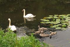 Familie zwaan kwam weer even langs bij het Zwanenpad.. (Olga and Peter) Tags: young nederland swans diemen jongen zwanen fimg14802