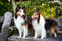 GTJ-2016-0626-52 (goteamjosh) Tags: dog pet sheltie taiwan  miaoli shetlandsheepdog   tongluo