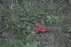 DSC_0052 (Gary Storts) Tags: cardinal gynandromorph gynadromorph orninthology birdwatching birds cardinalis northerncardinal cardinaliscardinalis