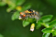 Caterpillar (MLSIEW) Tags: hairy colour nature closeup caterpillar crawling creep nikond90