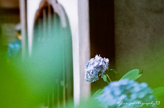 明月院 (紅襪熊) Tags: film japan pentax takumar bokeh super 55mm 200 m42 hydrangea f18 18 55 アジサイ spf ajisai 鎌倉 filmphotography 紫陽花 明月院 繡球花 底片 supertakumar55mmf18 銀鹽 uxi efiniti efinitiuxisuper200