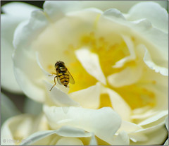 On the Edge (Hindrik S) Tags: edge rose fly hoverfly zweefvlieg sweefmich insect ynsekt roas roos blom flower bloem blume wyt white wit yellow giel geel wing wings sharp thorn toarne doorn stekel stikel garden garten tn tuin skepping schepping schpfung creation nature natuer natoer tamron tamronspaf90mmf28dimacro 90mm sonyphotographing sony sonyalpha 57 slta57 a57