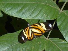 DSC04666 (familiapratta) Tags: nature insect iso100 sony natureza insects inseto insetos hx100v dschx100v