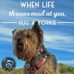 Yorkies are there for good, or bad, days. (itsayorkielife) Tags: yorkiememe yorkie yorkshireterrier quote