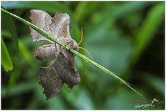 Poplar Hawk-Moth (Laothoe Populi) (Sharon Dow Photography) Tags: uk wild summer england macro nature rural sussex countryside wings nikon nocturnal feeding westsussex britain head wildlife ngc moth 85mm insects naturereserve horsham naturalworld antennae thorax hawkmoth abdomen 2016 warnham springwatch flyinginsects poplarhawkmoth warnhamnaturereserve laothoepopuli d7100 nikond7100 sharondowphotography june2016
