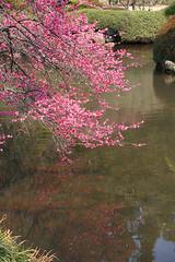 IMG_6355 (youkaine) Tags: park family sky flower beautiful japan forest river spring bamboo   sakura mito  ume ibaraki  blooming   kairakuen