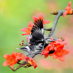 36889 (Ben To) Tags:  cottontree blackcollaredstarling bombaxceiba