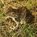 Male Northern Crawfish Frog