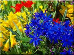 Colors of Spring (Ostseetroll) Tags: flower spring blossom blume blte frhling