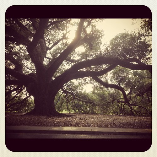 LSU Oak Tree