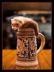 (7/52) Stein-Size... (originalpozer) Tags: ferret mug samantha stein