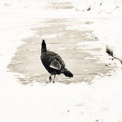 The elusive urban turkey (kiramke) Tags: street urban bw snow turkey square mono nikon candid snowstorm milwaukee format mke d5000 kiramke