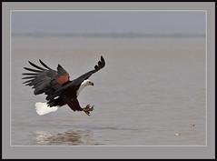 Fickle Fish Eagle (Rainbirder) Tags: ngc npc africanfisheagle haliaeetusvocifer lakebaringo taxonomy:binomial=haliaeetusvocifer coth5 rainbirder