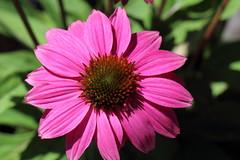 "IMG_8534 ""Echinacea' (ppaulinesm) Tags: pink flowers flower macro nature gardens canon garden flora echinacea oz australia brisbane 100mm qld queensland botanic dslr magnoliophyta angiosperm 600d worldflowers 100mmf28lmacro hennysgardens"