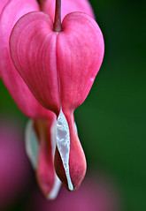 """Raining In My Heart""  (Dicentra) (Eleanor (WHU)) Tags: garden floralfantasy fantasticnature perfectpetals flowersarebeautiful worldofflowers flickrsawesomeblossoms unforgettableflowers addictedtoflowers flowersonflickr weallloveflowers beautifulflowergroup flowers4you brigettesbeautifulnaturegallery"