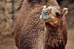 Camello arábigo (Camelus dromedarius)