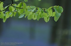 Colors of Halle (hknatuurfoto (Hans Koster)) Tags: colors spring belgium belgie april blaadjes leafs lente hyacinten halle berk hallerbos kleuren breech boisdehalle woodsofhalle
