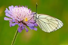 The Spider and the Butterfly(Aporia Crataegi) (Corsaro078) Tags: macro closeup butterfly spider farfalla ragno d90 sigma150macro