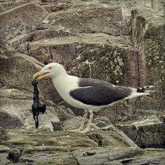 bird eat bird (again) (Black Cat Photos) Tags: uk sea england baby bird dinner blackcat island photography photo big movement europe action gull performance move m chick eat hunter feed perform predator farne farneislands farn steal predate blackback farns farnislands blackcatphotos