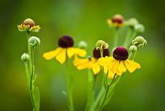 Blooming Family (Bob Diekmeier) Tags: flower green yellow spring blooms
