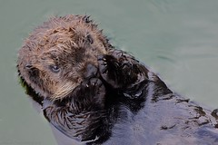 Adorable Sea Otter Pup (ottersdontflush) Tags: ocean california sea wild portrait baby cute nature water face animal animals closeup swimming swim mammal monterey paw marine peace pacific wildlife tail adorable floating peaceful southern otter rest resting pup paws float flippers mammals flipper otters