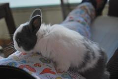 Kimchy (Naiala) Tags: kimchy pet bunny beautiful little white blueeyes rabbit conejo mascota ears dwarf love lovely cute bunnies conejos usagi sweet adorable nikon animal small nose netherlanddwarfrabbit