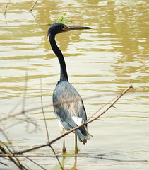 Tricolored heron (2mag7- non-stop catching up!) Tags: heron water birds suriname paramaribo
