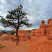 Bryce Canyon Queens Trail Tree.jpg
