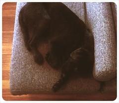 IMG_Avondale (oriwia_w) Tags: dog labrador blacklab cuteness camerabag iphone sleepingdog iphoneography