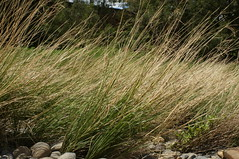 Chrysopogon filipes plant4 (Macleay Grass Man) Tags: grass native australian poaceae vetiver filipes chrysopogon