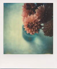 dahlias (daveotuttle) Tags: film polaroid sx70 dahlias px70 theimpossibleproject roidweek2012