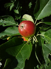 An Apple (Antti Tassberg) Tags: plant apple mobile closeup fruit leaf bokeh cellphone kasvi lehti omena hedelm pureview nokia808