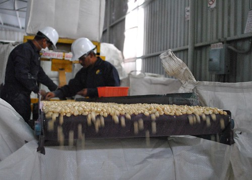 Maize seed quality control at small seed by CIMMYT, on Flickr