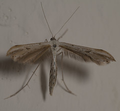 "Plume Moth • <a style=""font-size:0.8em;"" href=""http://www.flickr.com/photos/57024565@N00/7831495170/"" target=""_blank"">View on Flickr</a>"