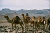 Tibesti, Northern Chad (michael_jeddah) Tags: sahara desert chad camel tubu tibesti tibbu