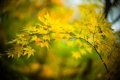 Autumn Curve (moaan) Tags: life leica autumn color digital 50mm glow dof f10 momiji japanesemaple utata aomori glowing noctilux tinted 2012  m9 tinged yagen colorsofautumn autumnaltints inlife leicanoctilux50mmf10 leicam9  booeh
