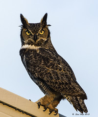 Great Horned Owl - Male (stan hope) Tags: morning usa nature birds sunrise nikon bravo florida wildlife ngc npc raptor owl sebring owls birdsofprey greathornedowl floridawildlife specanimal highlandscounty thewondersofnature d7000 nikssoftware hennysanimals