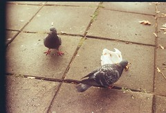 what ya lookin' at (Eimantas Plira) Tags: food film birds pigeons pair ground zorki4 industar61